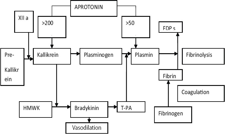 Figure 1: Schematic presentation of the infl uence of aprotonin on fibrinolysis and the kallikrein-kinin pathway. Aprotonin is known as an inhibitor for plasmin (at concentrations of >50 KIU/mL) and kallikrein (at concentrations of > 200 KIU/mL). Plasmin inhibition leads to a reduction of fi brinolysis. Inhibition of the kallikreinkinin pathway leads to a reduction of bradykinin formation, which may explain the improved hemodynamic stability after graft reperfusion, but it also decreases the formation of t-PA.